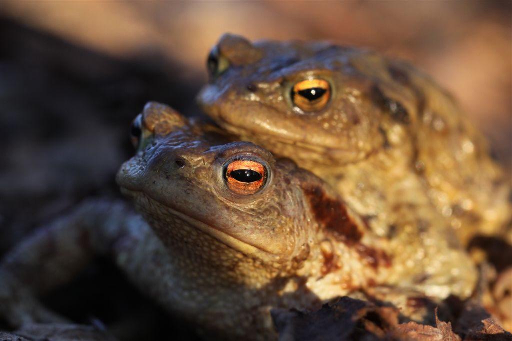 Bubovický rybník - žáby