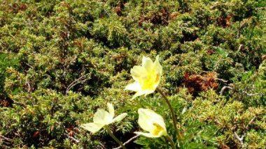 planina Puflatsch, místní květena