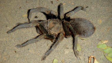 tarantule volně se pohybující po parkovišti - moc hodňoučké stvoření