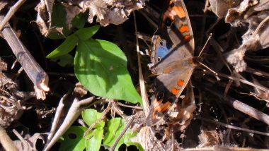 motýli jsou všude - i obrovský modrý morfo se občas objeví