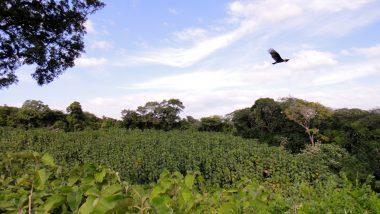 porosty týků- způsob, jak si v tropické zemi vydělat nějaký ten peníz