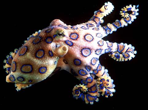 Chobotnice kroužkovaná  a  H. maculosa - Chobotnice. skvrnitá