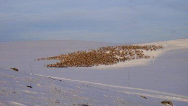 Obrovské stádo sobů!