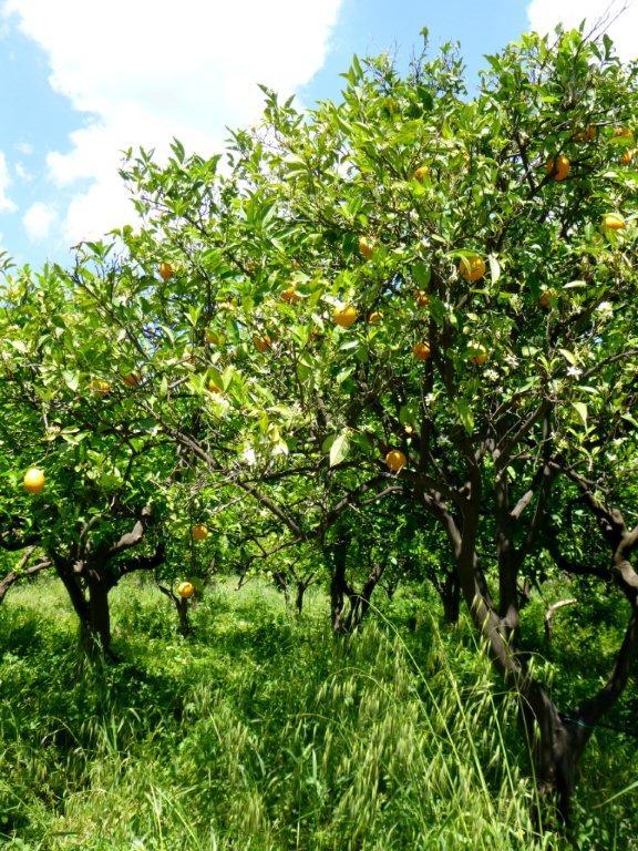 citrusový sad