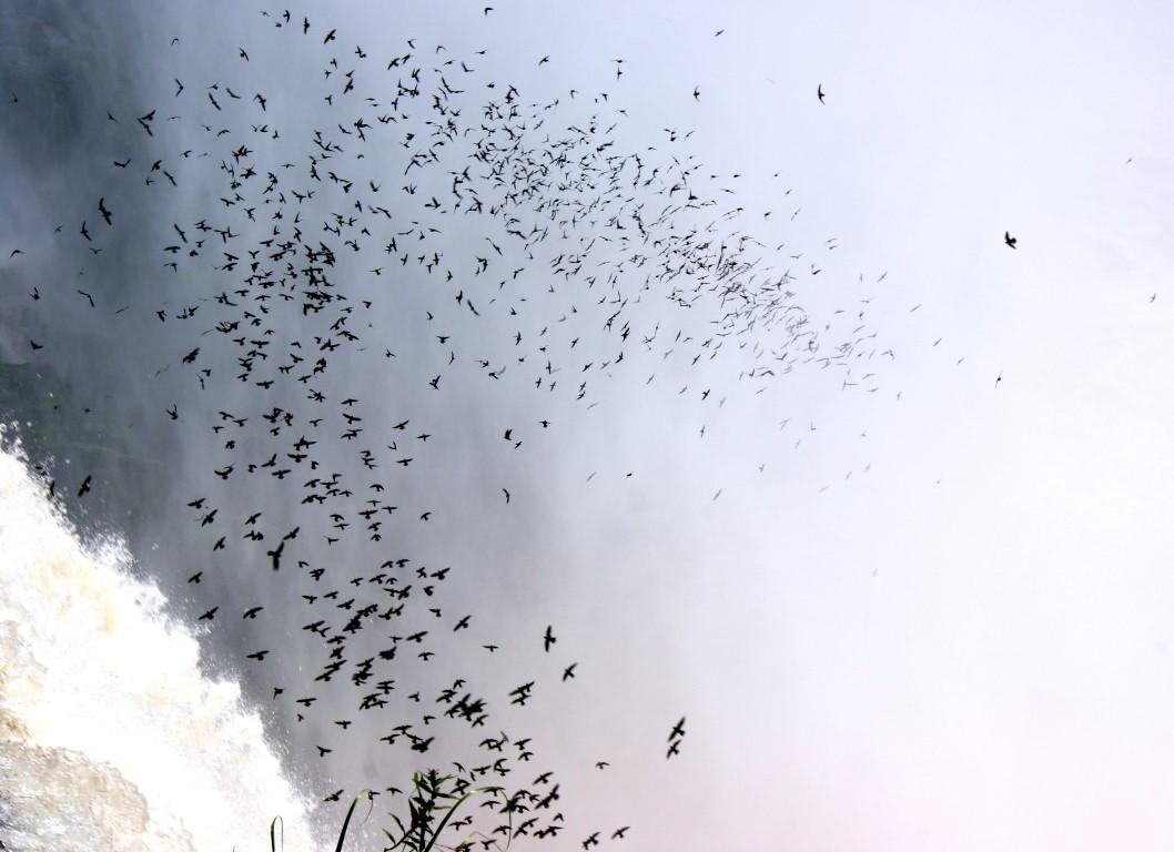rorýsi v Parque Nacionál Iguazu