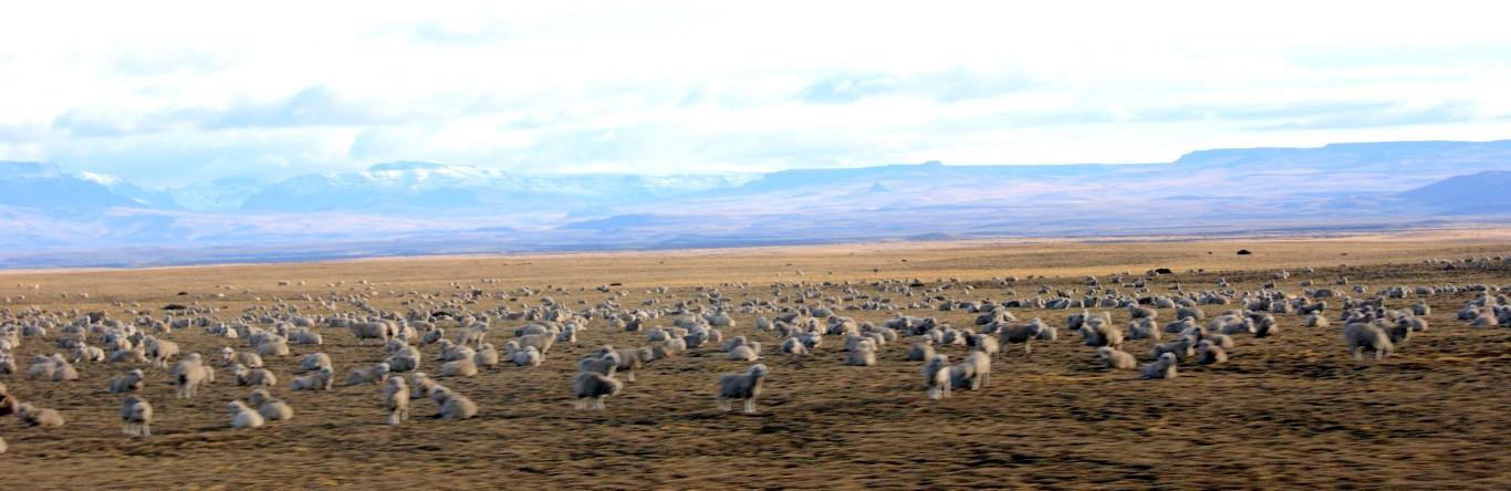 Míjíme obrovská stáda Guanaco (lam) a ovcí.