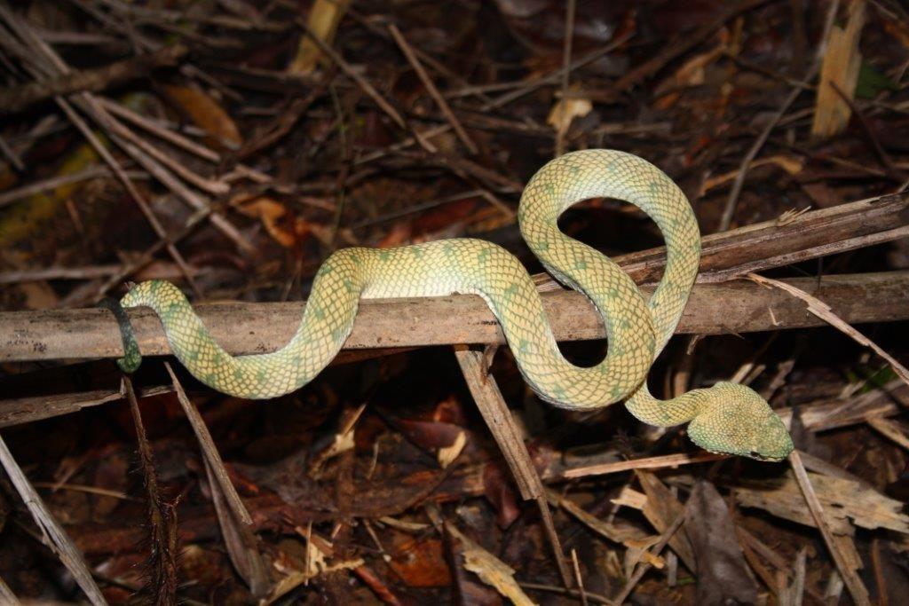 zelená zmije