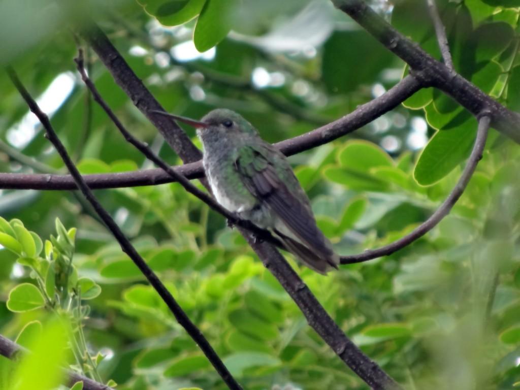 Kolibřík Praia do Meio