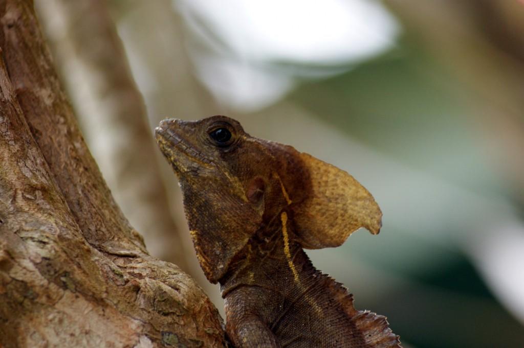 Bazilíšek pískovaný/Basiliscus vittatus/