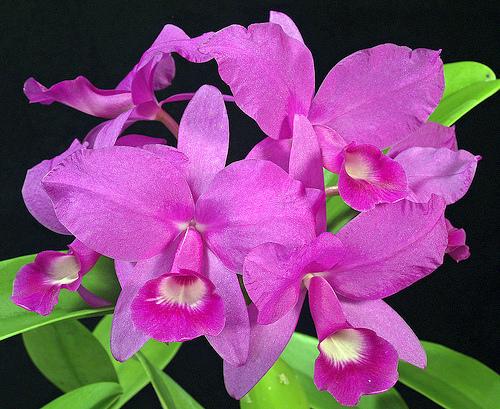 národní květina