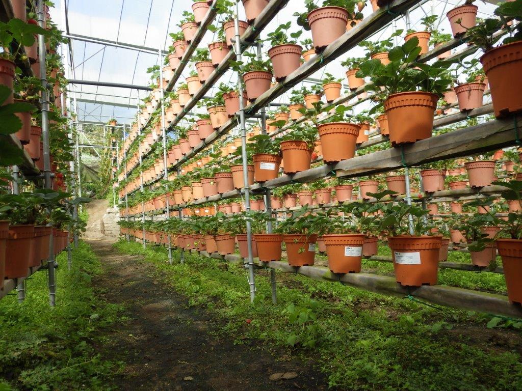 jahodová farma
