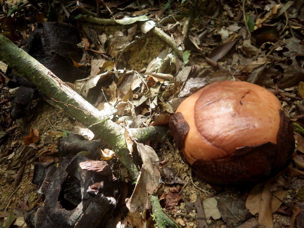 honba za Rafflesii