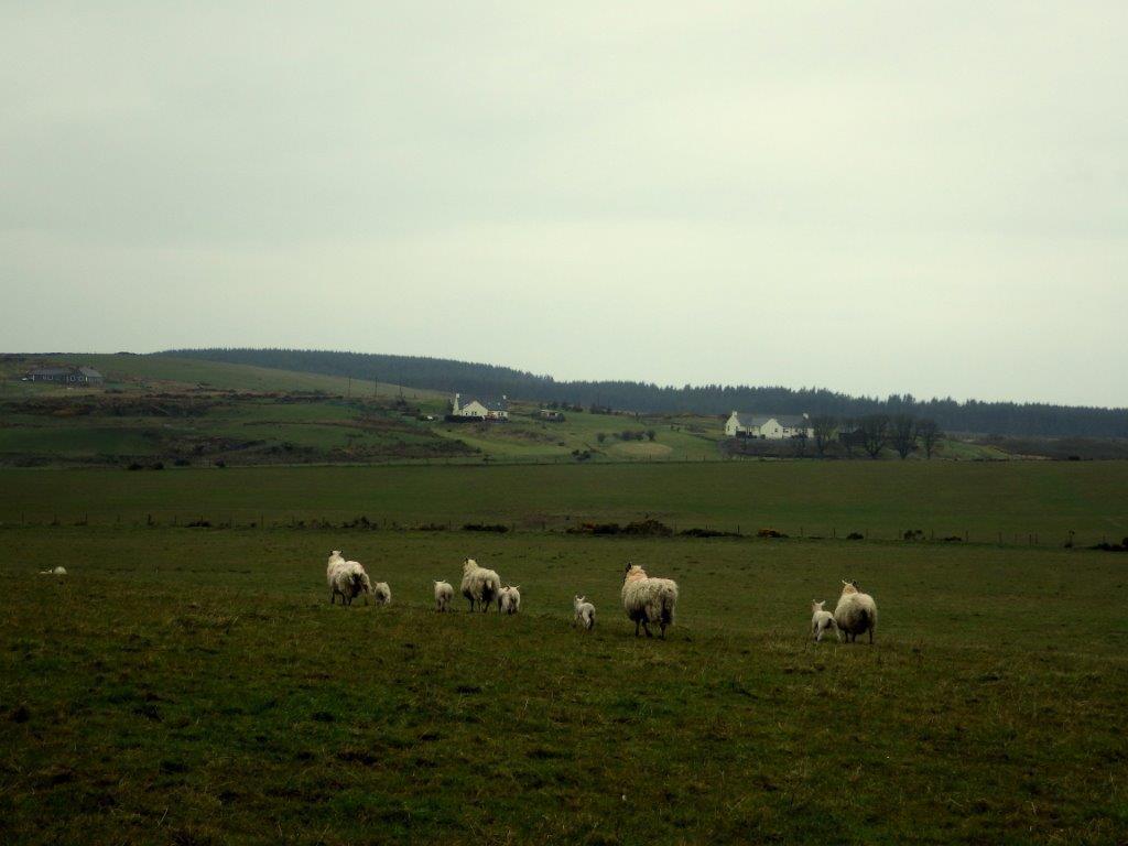 ovečky - symbol Skotska