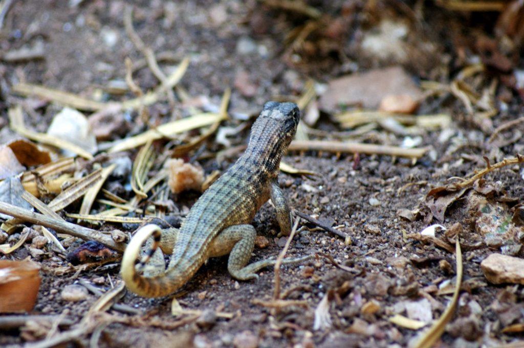 Leiocephalus inaguae, angl. Curly-tailed Lizard.