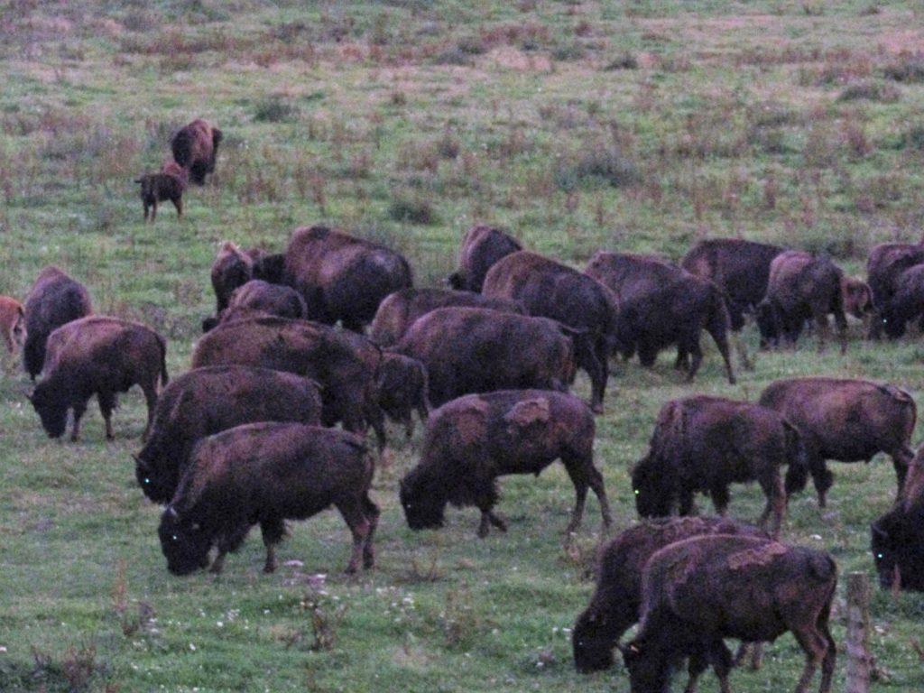 bisoni ráno