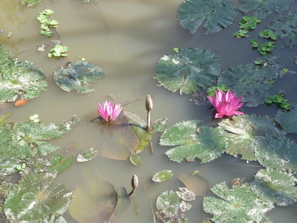 lotos - národní květina